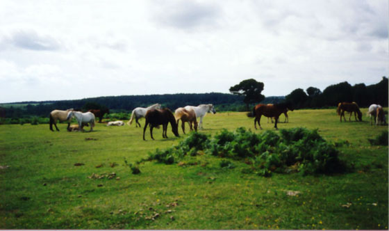 newforest1.JPG (41366 Byte)